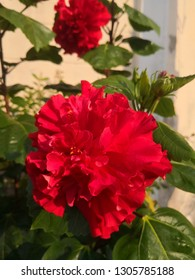 Hibiscus flowers or chinese rose