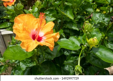 Hibiscus is a genus of flowering plants in the mallow family, Malvaceae. The genus is quite large, comprising several hundred species that are native to warm temperate, subtropical and tropical region