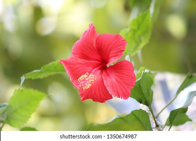 Jaswand Flower Information Images Stock Photos Vectors
