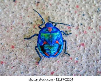 Hibiscus Harlequin Bug or Cotton Harlequin Bug, Tectocoris diophthalmus, adult male Gold Coast Australia