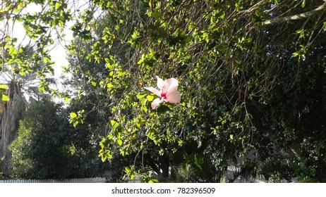 Hibiscus (Hibiscus insularis)