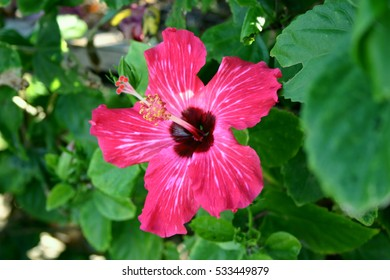 Hibiscus in Iriomote