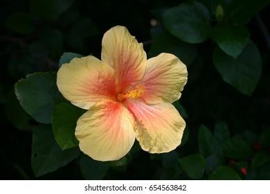 Hibiscus in Iriomote Island