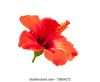 The hibiscus, isolated on white background