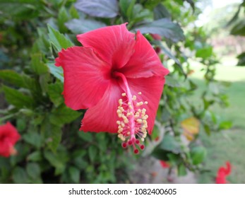 Flowers Red Hibiscus Flower Stock Photo Edit Now 285882536