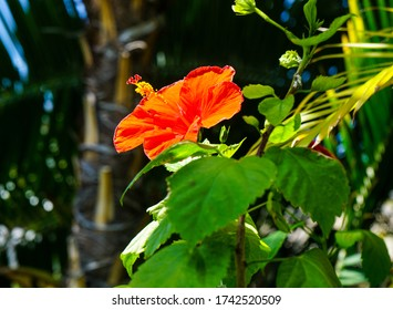 Hibiscus in a large greenhouse