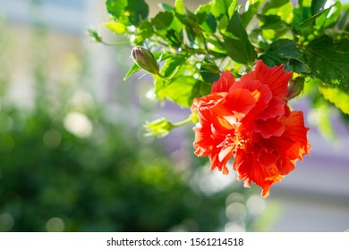 Hibiscus leaves and flowers in Okinawa,