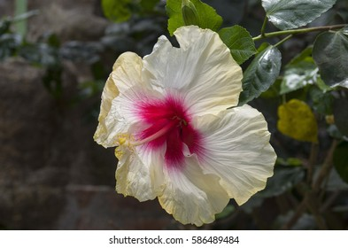 Hibiscus: National flower of Malaysia