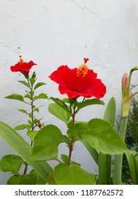 Hibiscus natual glower at garden.
