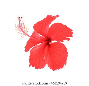 hibiscus on white background