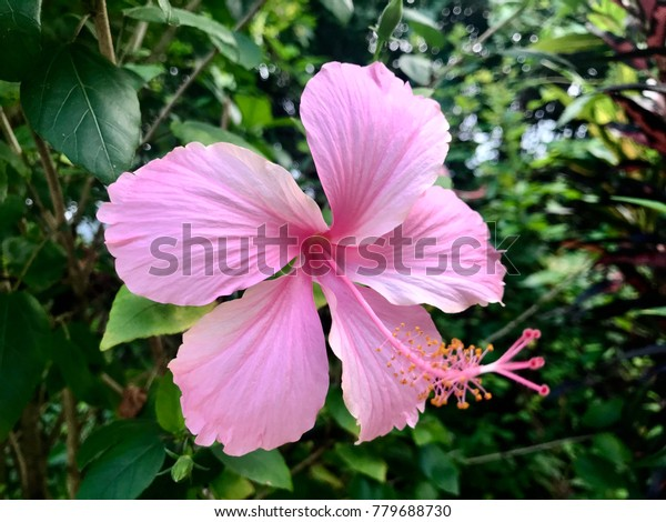 Hibiscus Pink Hibiscus Flower Common Names Stock Photo Edit Now