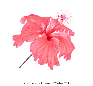 hibiscus pink on white background