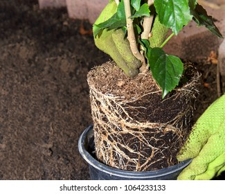 Hibiscus plant root bound, being transplanted into the garden by gloved hands.