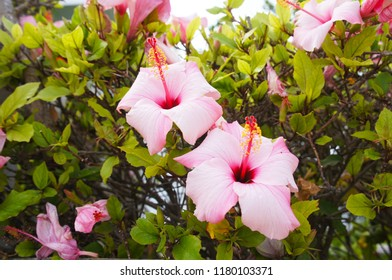 Hibiscus plant shrub with pink flowers