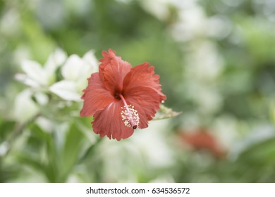 Hibiscus red bloom On blurred background