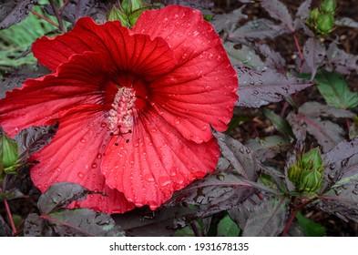 Hibiscus Red Flower Bloom Spring