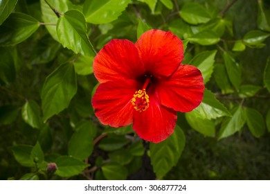 hibiscus red large flowers on a background of green leaves