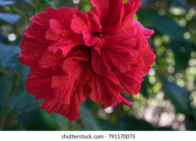 Hibiscus rosa sinensis.Chinese rose Red flowers in the middle of dark red flowers. Single out near the end of the branch. Ornamental lines at the base of flowers 5-8.