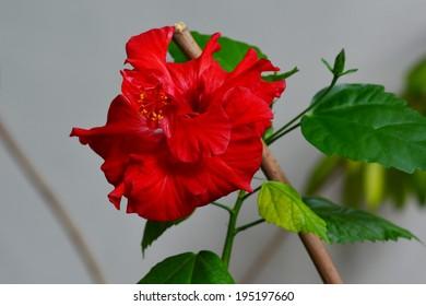 Hibiscus rosa-sinensis (Double Petal Vermillion Red)