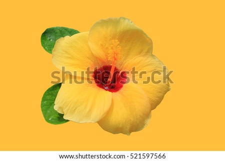 Hibiscus Rosasinensis Extract On Yellow Background Stock Photo Edit