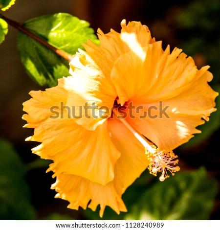 Hibiscus Rosasinensis Flower Medicinal Plant Stock Photo Edit Now