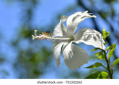 Hibiscus rosa sinensis images stock photos vectors shutterstock hibiscus rosa sinensis or is a genus of flowering plants in the mallow family ccuart Gallery