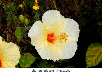 Hibiscus rosa-sinensis 'Hula Girl', China rose,  evergreen shrub or small tree, cultivar with green leaves and large rich yellow flowers with red throat with long exerted staminal column.