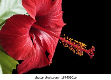 Hibiscus rosa-sinensis isolated on black background