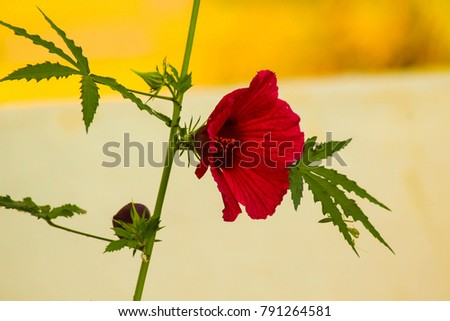 Hibiscus Rosasinensis Known Colloquially Chinese Hibiscus Stock