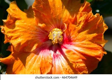 Hibiscus rosa-sinensis in orange, close-up