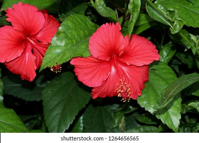 Hibiscus rosa-sinensis `Painted Lady`, Painted Lady Tropical Hibiscus, evergreen shrub with large rosy red-pink flowers with red center, petals wavy edged and pale pink veins radiating outwards.