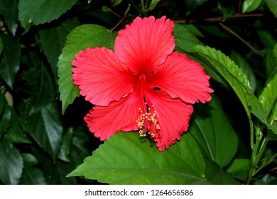 Hibiscus Rosasinensis Images Stock Photos Vectors Shutterstock