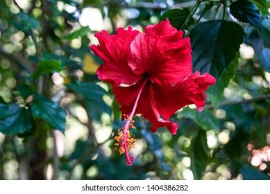Hibiscus rosa-sinensis in Thailand, Asia
