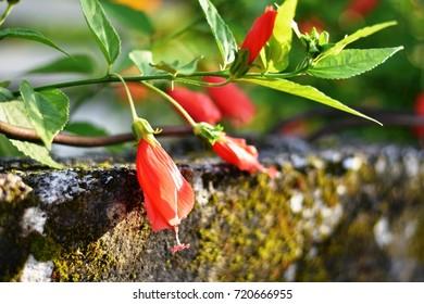 Hibiscus sinensis