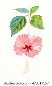 Hibiscus Sprinkle Rain, Rosa Sinensis, Peach colored tropical flower illustration watercolor hand painted.