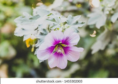 hibiscus syriacus althea rose of sharon flower (also called aphhrodite hibiscus) with purple and white colors, shot at shallow depth of field