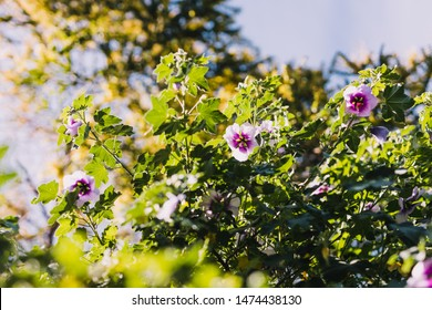 hibiscus syriacus althea rose of sharon flower (also called aphhrodite hibiscus) tree shot on a sunny morning, with shallow depth of field
