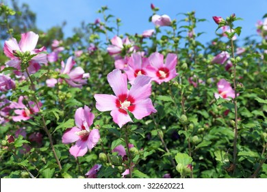 Hibiscus syriacus. Flowers against the sky