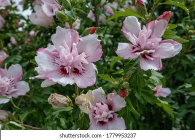 Hibiscus syriacus. Red Heart. Beautiful tropical flower in a garden