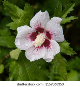 Hibiscus Syriacus Red Heart Images Stock Photos Vectors