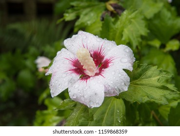 Hibiscus Syriacus Red Heart Rose Sharon Stock Photo Edit Now