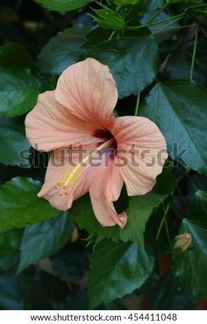 Hibiscus Hibiscus Wild Cultivated Plants Shrubs Stock Photo Edit
