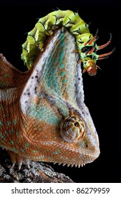 A Hickory Horned Devil caterpillar is crawling on a chameleon's head.