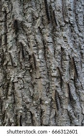 A hickory tree infested with Gypsy Moth caterpillars (Lymantria dispar dispar).