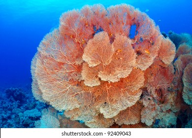 Hickson's fan coral (Subergorgia hicksoni Kashman) in the Red Sea, Egypt.