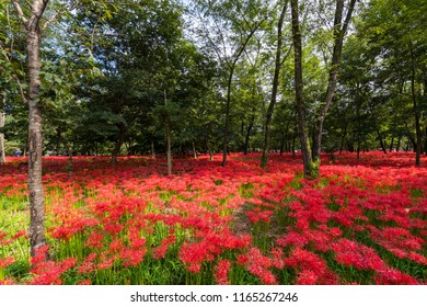 "HIDAKA CITY, SAITAMA / JAPAN - SEPTEMBER 24 2017 : Scenery of ""Kinchakuda"" where Red spider lily blooms all over. It is a famous spot where many tourists visit to see the red flower garden."