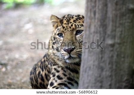 Hidden Leopard Stock Photo Edit Now 56890612 Shutterstock