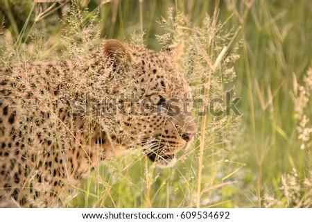 Hidden Leopard Stalking Through Long Grass Stock Photo Edit Now