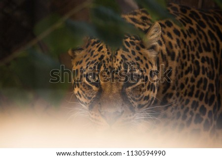 Hidden Leopard Trying Get Some Food Stock Photo Edit Now
