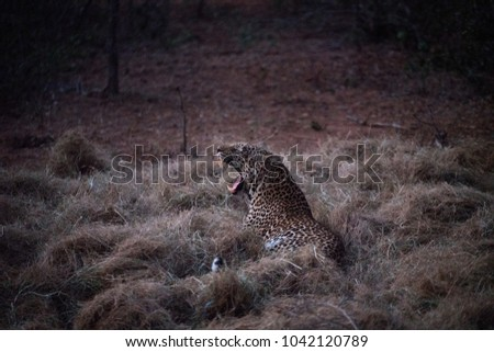 Hidden Leopard Yawning Night Hay Field Stock Photo Edit Now